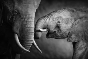 Image of elephants for our FAQ about careers in animal behavior